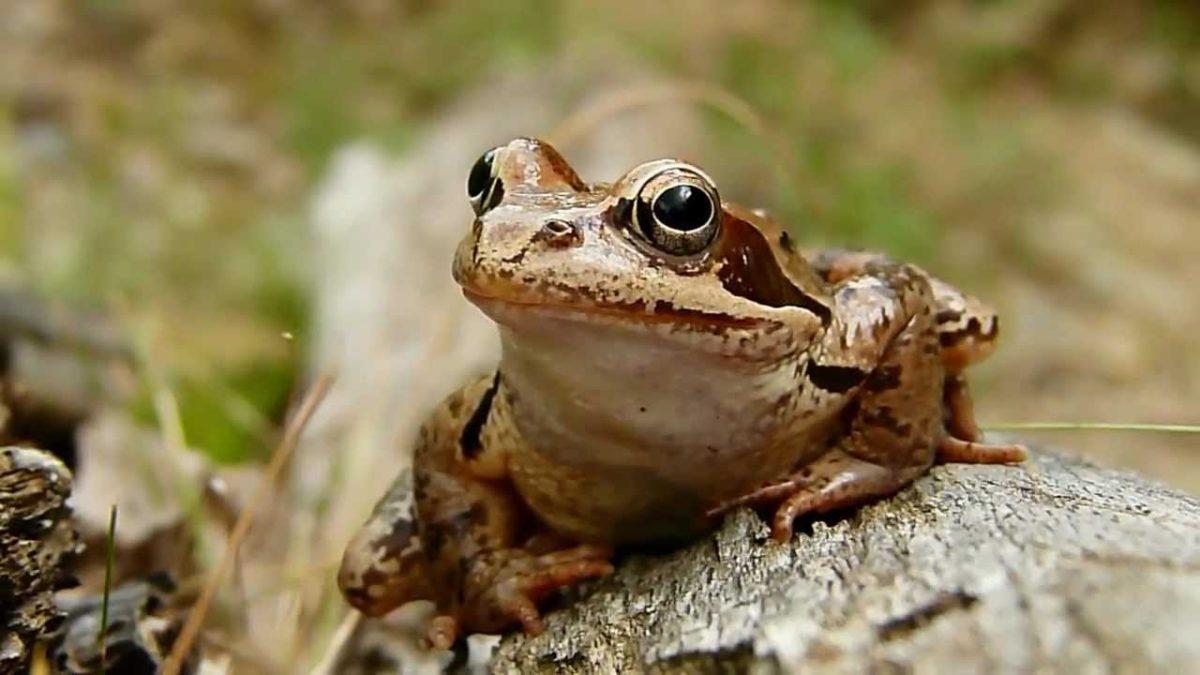 frogs botevgrad