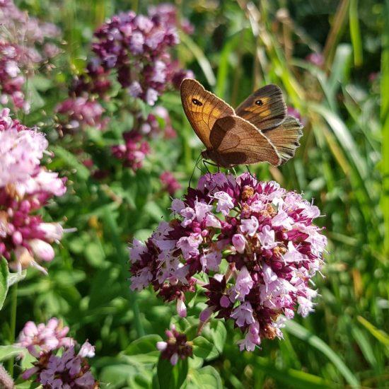 wild flowers Rhodopes